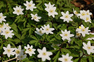 Ancient woodland - Anemone nemorosa