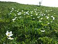 Anemone sylvestris sl10.jpg