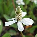 Anemopsis californica-IMG 6378.jpg