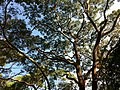 Angophora costata - spreading crown habit.jpg