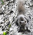 Animal Red-bellied squirrel Callosciurus erythraeus 03.jpg