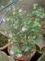 Anisodontea capensis1.jpg
