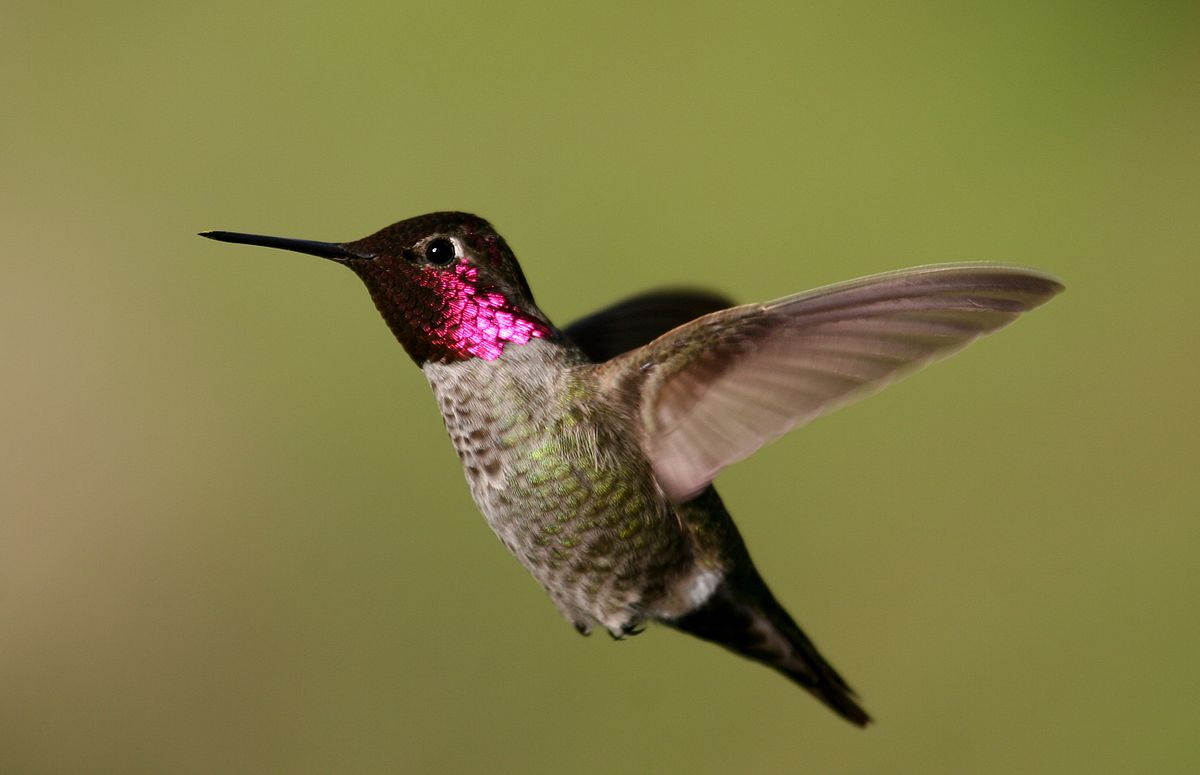 Annas Hummingbird Wikipedia