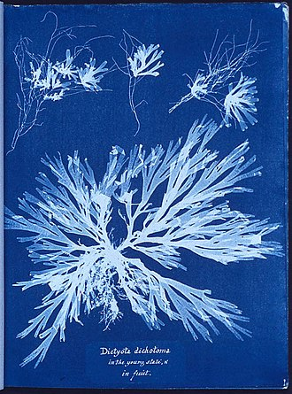1843 in science - Cyanotype photogram by Anna Atkins