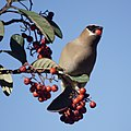 Another Cedar waxwing at the Toyon (33324007548).jpg