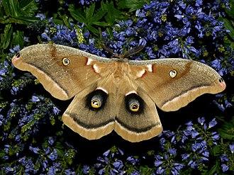 Eyespot (mimicry) - Antheraea polyphemus