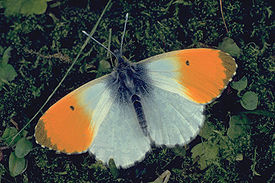 Anthocharis cardamines male.jpg