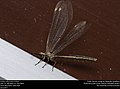Antlion (Myrmeleontidae) (37340744631).jpg