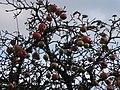 Apfelbaum ohne Blätter. - panoramio.jpg
