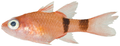 Apogon robinsi - pone.0010676.g071.png