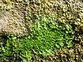 Apopellia endiviifolia 53140434.jpg
