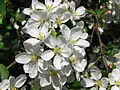 Apple blossom (Malus domestica) 23.JPG