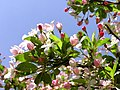 Apple blossom 1r.jpg