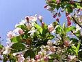Apple blossom 1r.jpg