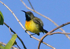 Description de l'image Apricot-breasted Sunbird (cropped).jpg.