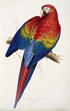 large red, yellow and blue parrot