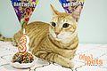 Arabian Mau birthday.jpg