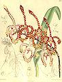 Arachnis annamensis (as Arachnanthe annamensis) - Curtis' 132 (Ser. 4 no. 2) pl. 8062 (1906).jpg
