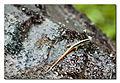 Arana reptile.jpg