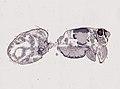 Araneae (YPM IZ 093467).jpeg