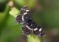 Araschnia levana f. prorsa Nõgeseliblikas suvi estonia.png