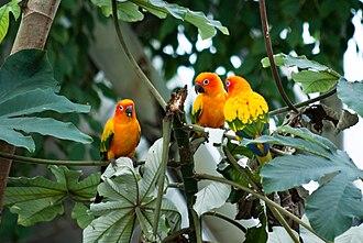 Sun parakeet - A group of sun parakeets