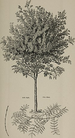 Arboretum et fruticetum britannicum, or - The trees and shrubs of Britain, native and foreign, hardy and half-hardy, pictorially and botanically delineated, and scientifically and popularly described (14803901103).jpg