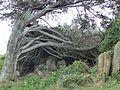 Arbre mort île de Bréhat.jpg