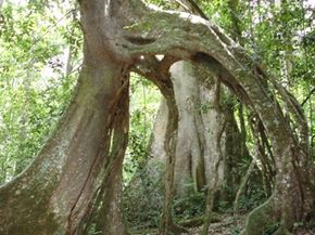 Image result for mabira forest