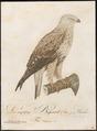 Archibuteo lagopus - 1800-1812 - Print - Iconographia Zoologica - Special Collections University of Amsterdam - UBA01 IZ18200079.tif