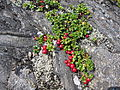 Arctostaphylos alpina Eagle Crag.jpg