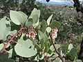 Arctostaphylos viscida - Flickr - brewbooks (3).jpg