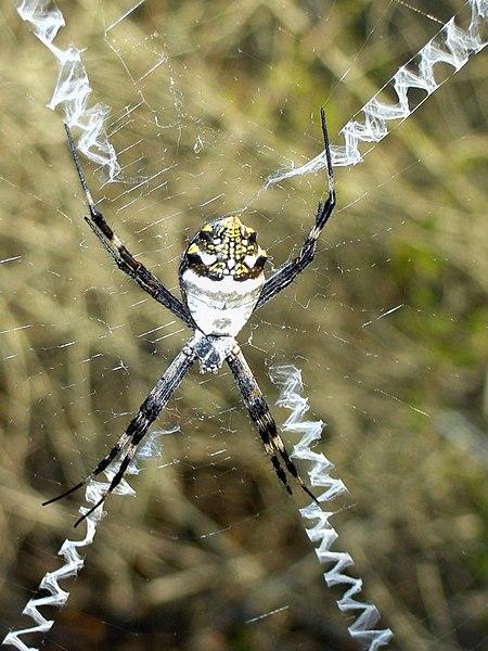 Arañas Peludas