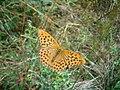 Argynnis paphia - panoramio 01.jpg