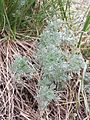 Artemisia austriaca sl3.jpg