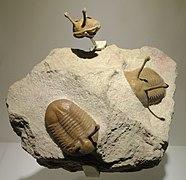 Asaphus kowalewskii, Middle Ordovician, Duboviki-Porogi Formations, St. Petersburg region, Russia - Houston Museum of Natural Science - DSC01532.JPG