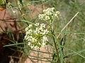Asclepias subverticillata kz02.jpg