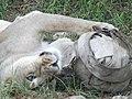 Asiatic Lioness 09.jpg