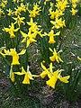 Asparagales - Narcissus pseudonarcissus - kew 1.jpg
