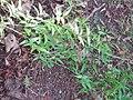Asparagus asparagoides (L.) W.F.Wight (AM AK289857).jpg