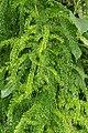 Asparagus racemosus 0741.jpg
