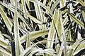 Astelia nivicola in Lewis Pass Scenic Reserve 09.jpg