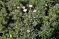 Asteraceae sp.-CTJ-IMG 7222.jpg