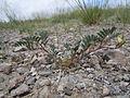 Astragalus aquilonius (4730456224).jpg