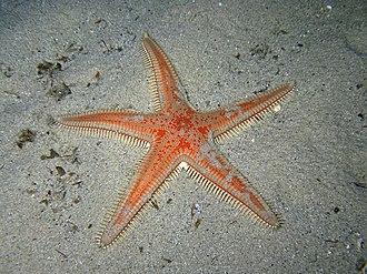 Paxillosida - Image: Astropecten aranciacus Sardegna 09 28cm 5520