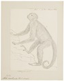 Ateles arachnoides - 1829-1867 - Print - Iconographia Zoologica - Special Collections University of Amsterdam - UBA01 IZ20200117.tif