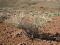 Atriplex confertifolia (7295105030).jpg