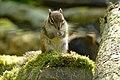 Auderghem - Region Bruxelloise - Rouge-cloître - Asiatisches Streifenhörnchen - P1010275.jpg