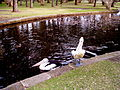 Australian Pelicans, waterfowl, and rails in Centennial Park, Sydney-1.jpg