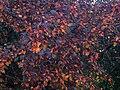 Autumn Crabapple 1 (24092399610).jpg